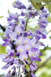 Chinese Wisteria flower petals on panicle closeup. Wisteria Sinensis, A high-climbing vine, wisteria blooms vigorously in spring with large, drooping clusters of Royalty Free Stock Photo
