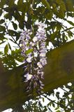 Chinese Wisteria panicle unfolds and opens in springtime. The wisteria is a vine in the pea family, and it has white to purple pea-like flowers during late Royalty Free Stock Images