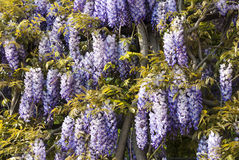 Chinese Wisteria Stock Photography