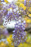 Chinese Wisteria or Wisteria sinensis. Flowering in spring royalty free stock image