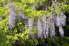Chinese wisteria (Wisteria sinensis) Stock Image