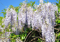 Chinese wisteria (Wisteria sinensis). Colorful and crisp image of chinese wisteria (Wisteria sinensis stock photo
