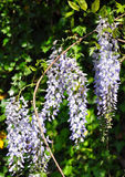 Chinese wisteria (Wisteria sinensis) Royalty Free Stock Image