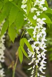 Chinese wisteria, Wisteria sinensis royalty free stock photos