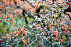 Chinese witch hazel Stock Images