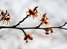 Chinese witch hazel Royalty Free Stock Photos