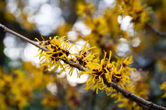 Chinese witch hazel Royalty Free Stock Photo