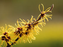 Chinese Witch-Hazel royalty free stock images