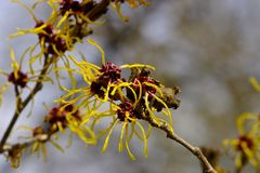 Flowers of Chinese Witch Hazel Hamamelis mollis. The Chinese witch hazel is often found as a shrub or small tree in gardens and parks. It is one of the first royalty free stock images