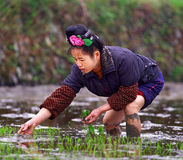 Chinese woman planting seeds of rice in a rice field. Royalty Free Stock Photo