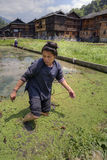 Chinese woman works on old rice field, in knee-deep water. Royalty Free Stock Images