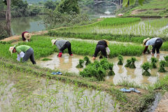 Chinese women in rice fields royalty free stock image