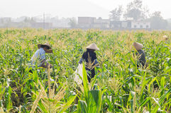 Chinese women's labor in cornfield Royalty Free Stock Images