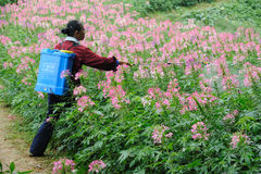Chinese worker spraying pesticides stock photography