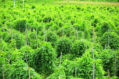 Chinese yam crops Stock Image