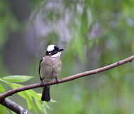 ChineseBulbul Royalty Free Stock Images