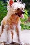 Chineses Crested el perro Imagen de archivo libre de regalías