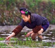 Chinesin, die Samen des Reises auf einem Reisgebiet pflanzt. Lizenzfreies Stockfoto