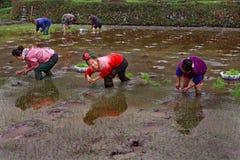 Chinesinnen, die den Reis, Knie-tief im Wasser das ric stehend pflanzen Stockbilder