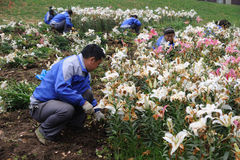 Chinesische Arbeitskraft, die Blumen pflanzt Stockfotografie