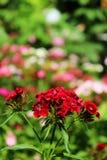 Chinesische Gartennelke im Garten Blühende Gartennelken Stockbild