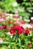 Chinesische Gartennelke im Garten Blühende Gartennelken Lizenzfreie Stockfotografie