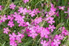 Chinesische Gartennelkenblumen Stockbilder