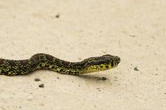 Chinesische giftige Schlangen-Nahaufnahme: Roter Spooted Pit Viper Lizenzfreie Stockfotos