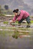 Chinesische ländliche Frau, die Reissämlinge auf dem überschwemmten Reisgebiet pflanzt Lizenzfreie Stockfotos