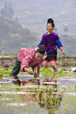 Chinesische ländliche Frau verpflanzte Reissämlinge im Reis-PA Stockfotos