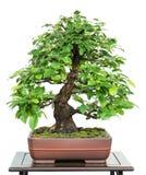 Chinesische Quitte als Bonsaibaum stockbild