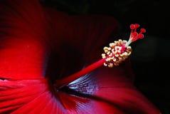 Chinesische Rose in meinem Garten Stockfotos