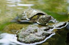 Chinesische Teichschildkröte, Mauremys reevesii Stockfotos