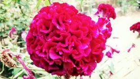 Chinesische Wollblume Stockbilder