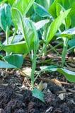Chinesischer Brokkoli oder chinesischer Kohl, die im Garten wachsen lizenzfreie stockfotografie