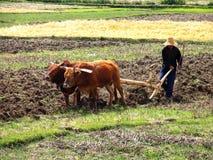 Chinesischer Landwirt, der ein Feld mit einem hölzernen Pflug und einem Geschirr von Büffeln pflügt lizenzfreies stockfoto