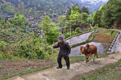 Chinesischer Landwirt steigt oben der Gebirgsweg und hält Zügelrotbüffel stockfotos