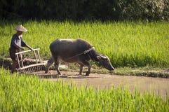 Chinesischer Landwirt und sein Büffel, die auf einem Reisgebiet arbeitet Stockfotos