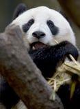 Chinesischer männlicher jugendlicher Essenbambus des Pandabären Stockbild