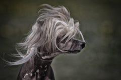 Chinesischer mit Haube Hund Lizenzfreie Stockbilder