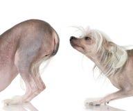 Chinesischer mit Haube Hund - unbehaart stockfoto