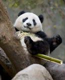 Chinesischer Pandabär, der Bambus, Porzellan isst Lizenzfreie Stockbilder