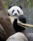 Chinesischer Pandabär, der Bambus, Porzellan isst Stockfotos