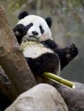 Chinesischer Pandabär, der Bambus, Porzellan isst Stockbilder