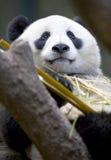 Chinesischer Pandabär, der Bambus, Porzellan isst Lizenzfreies Stockfoto