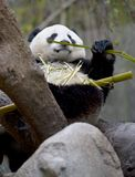 Chinesischer Pandabär im Baum Bambus, Porzellan essend Lizenzfreie Stockbilder