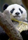 Chinesischer Pandabär im Baum Bambus, Porzellan essend Lizenzfreies Stockfoto