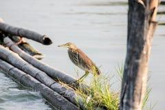 Chinesischer Teich-Reiher Lizenzfreies Stockbild