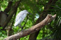 Chinesischer Teich-Reiher (Ardeola Bacchus), Vogelstandplatz ein Lizenzfreie Stockfotos