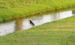 Chinesischer Vogel des Teich-Reihers (Ardeola-Bacchus), der etwas Lebensmittel um den Abzugsgraben wartet Lizenzfreie Stockbilder